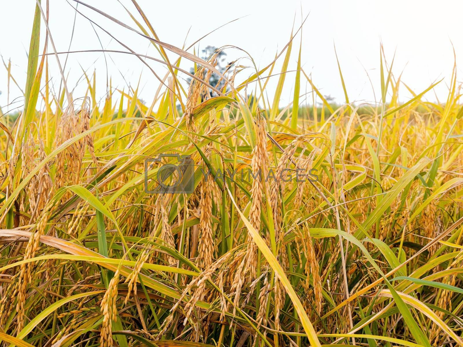 Golden yellow paddy in the fields ready for harvest
