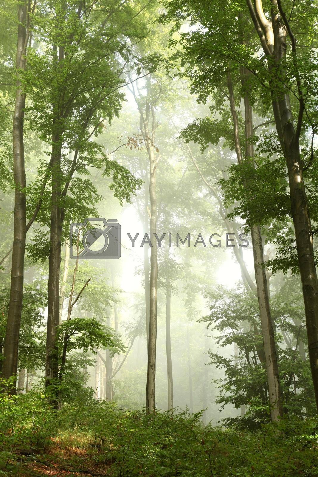 Royalty free image of Spring beech forest by nature78