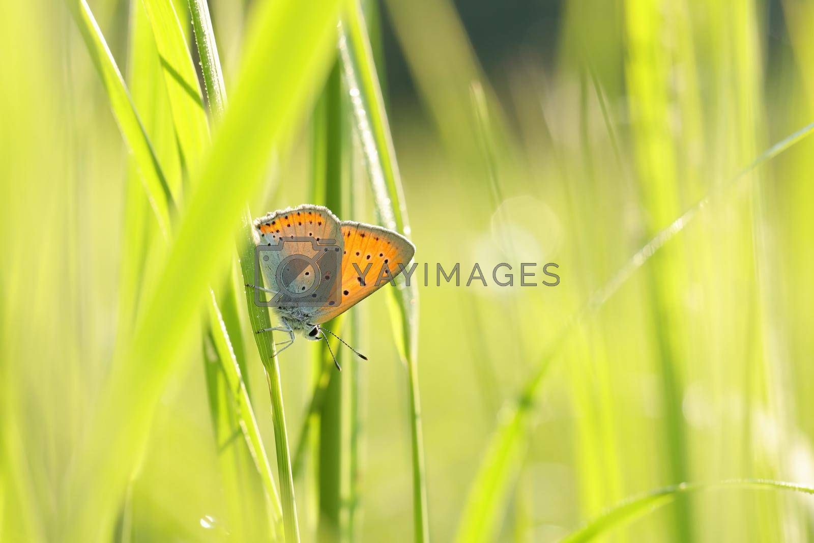 Butterfly (Large copper) on a spring morning.