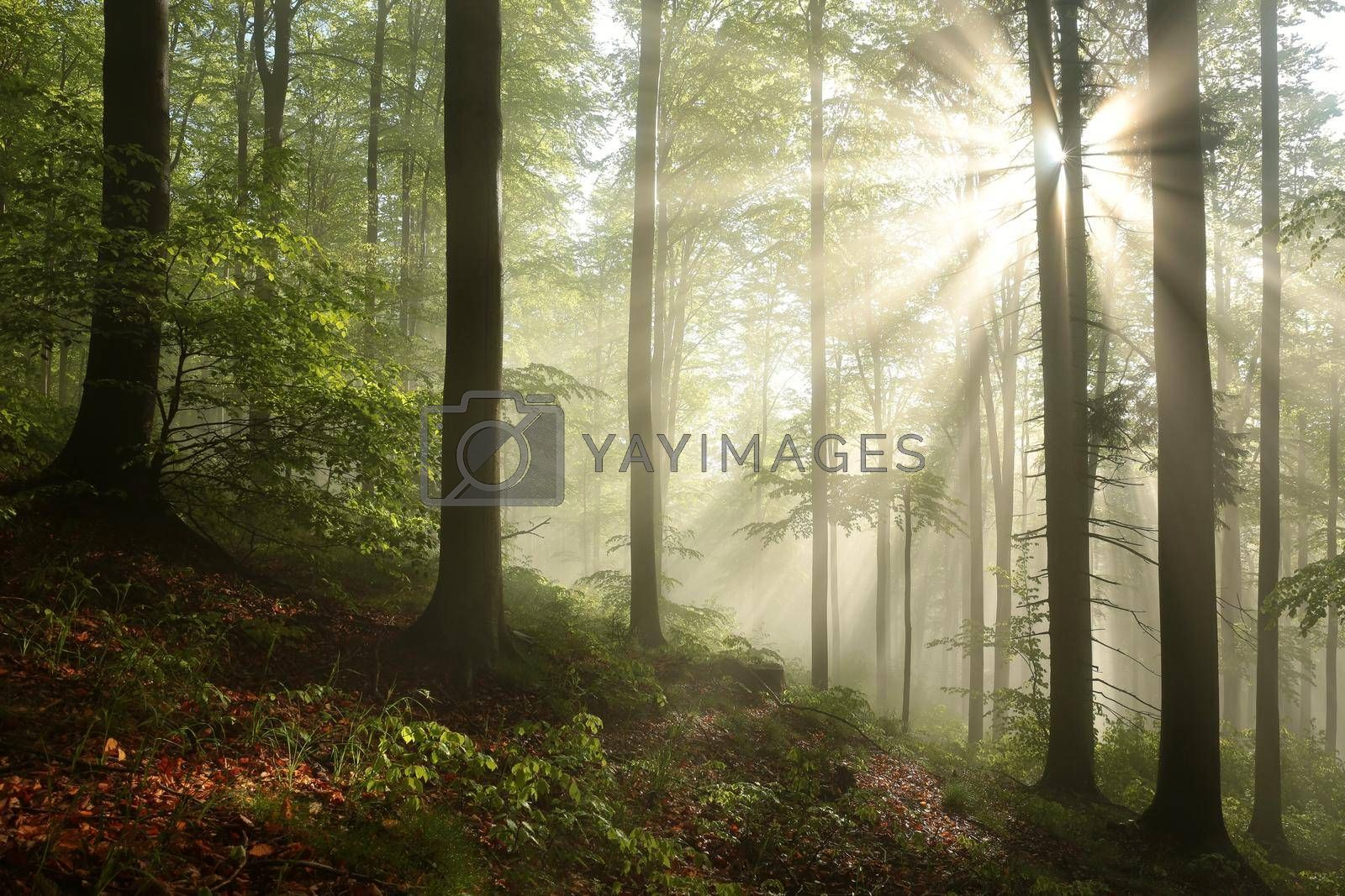 Beech trees in spring forest on a mountain slope after rainfall.