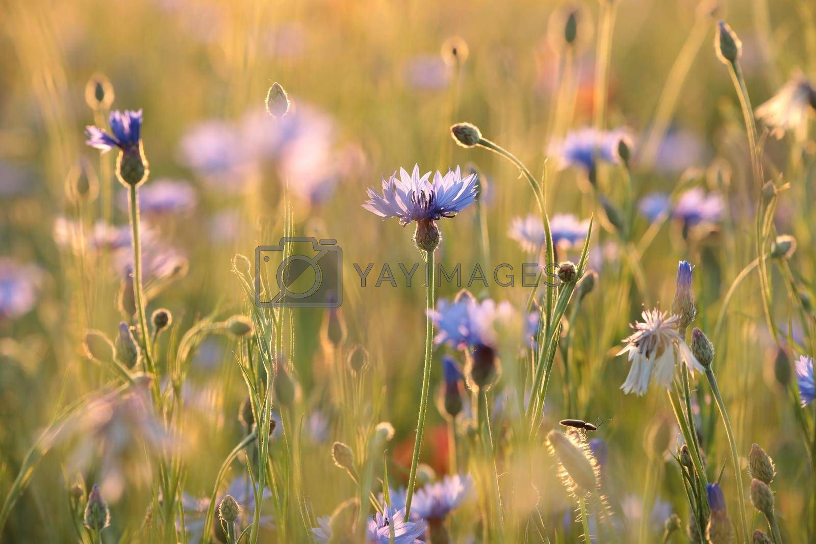 Cornflower in the field at dusk.