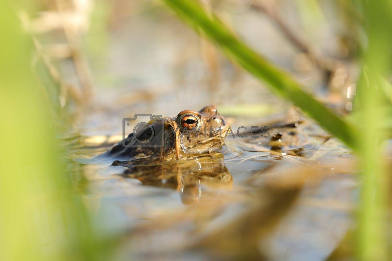 Frog in a pond during mating season.