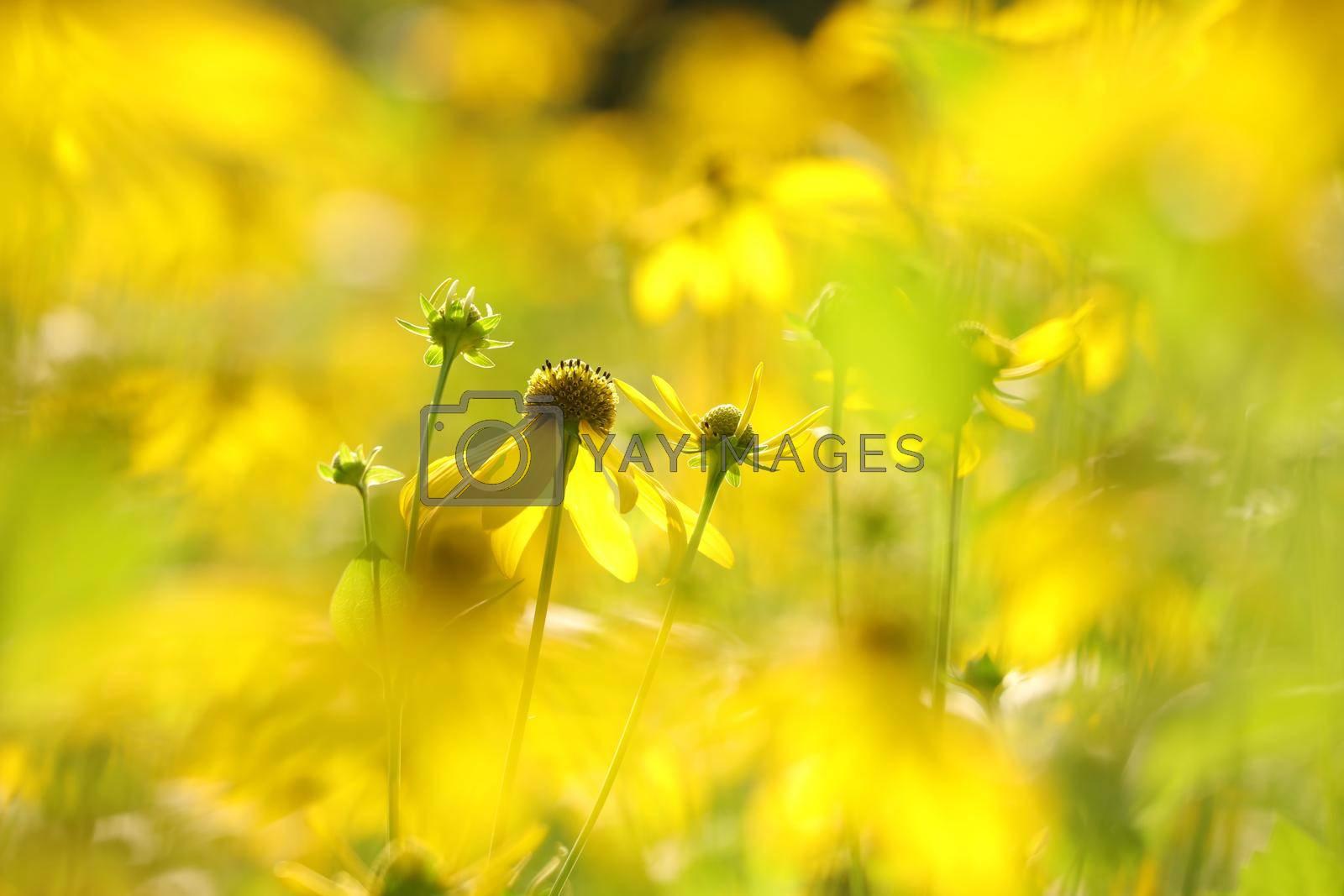 Cutleaf Coneflower - Rudbeckia laciniata in the garden