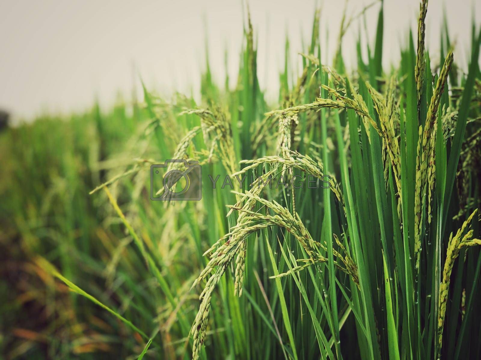 Beautiful green rice field and ear of rice. Close up of rice in the field.