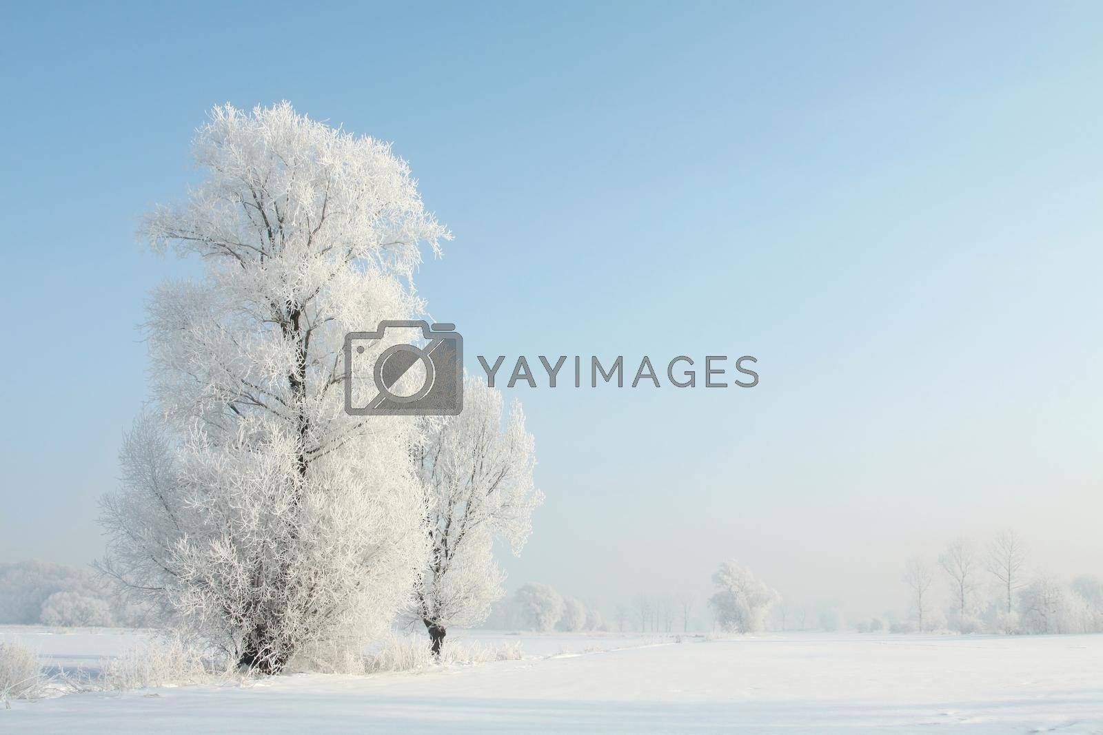 Frosty winter trees against the blue sky at sunrise.