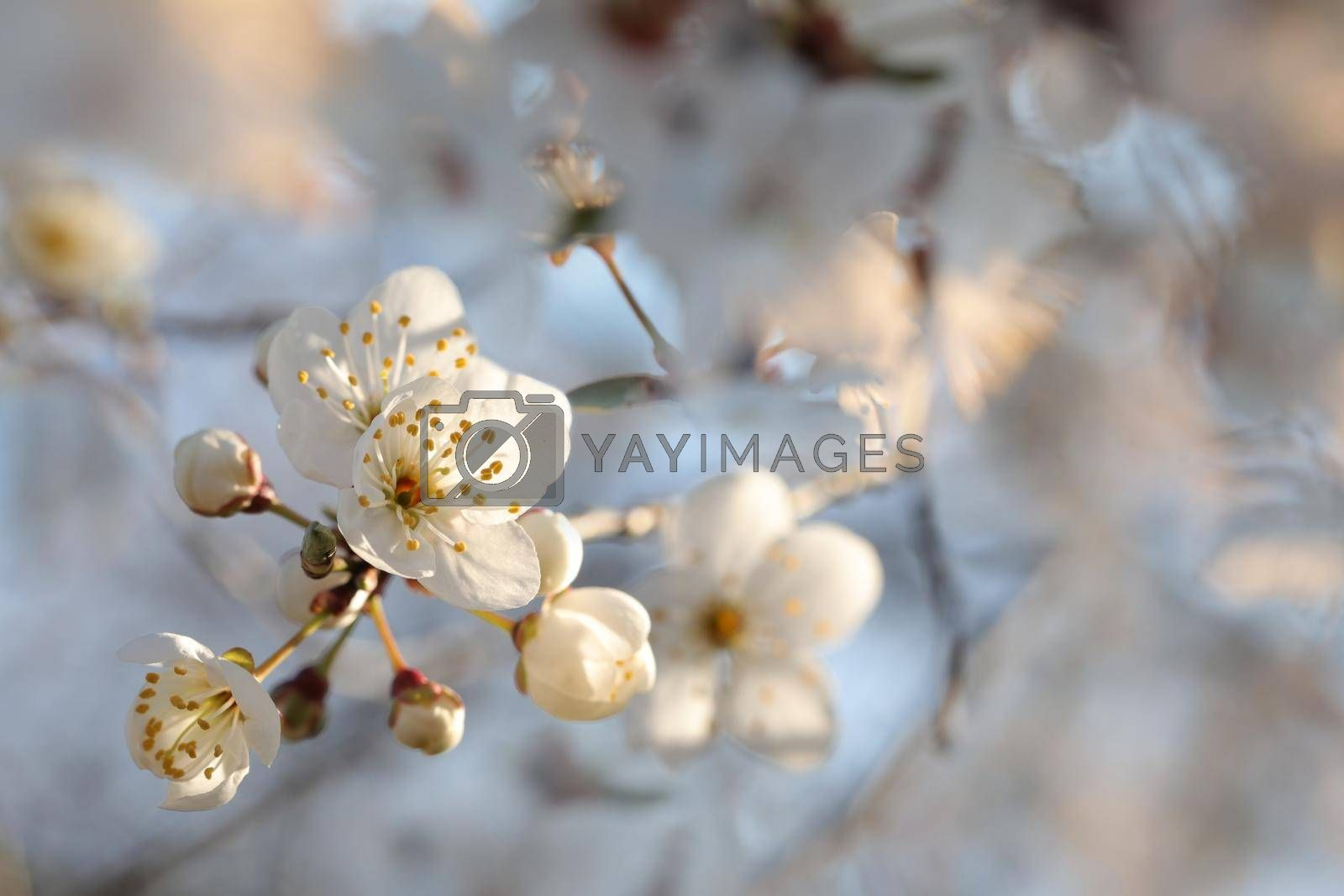 Spring flowers blooming on a tree at dawn.