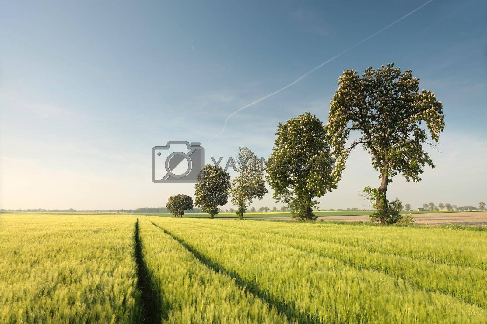 Blossoming chestnut tree on a grain field
