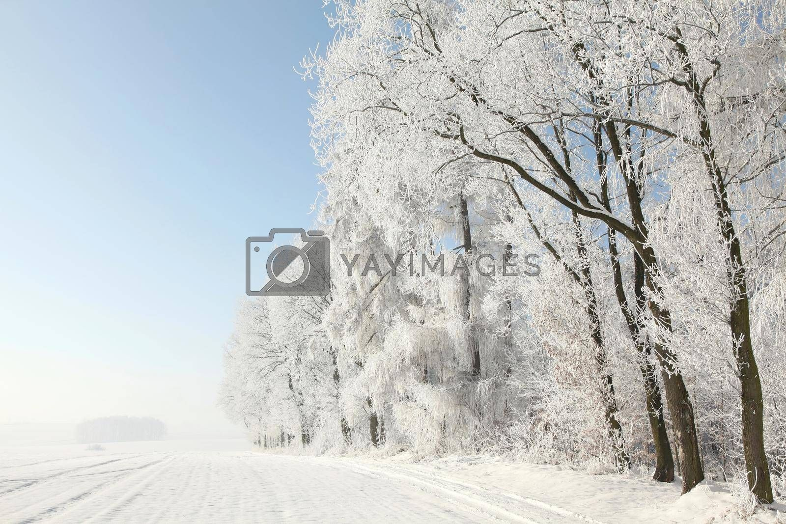 Trees covered with frost against a blue sky.