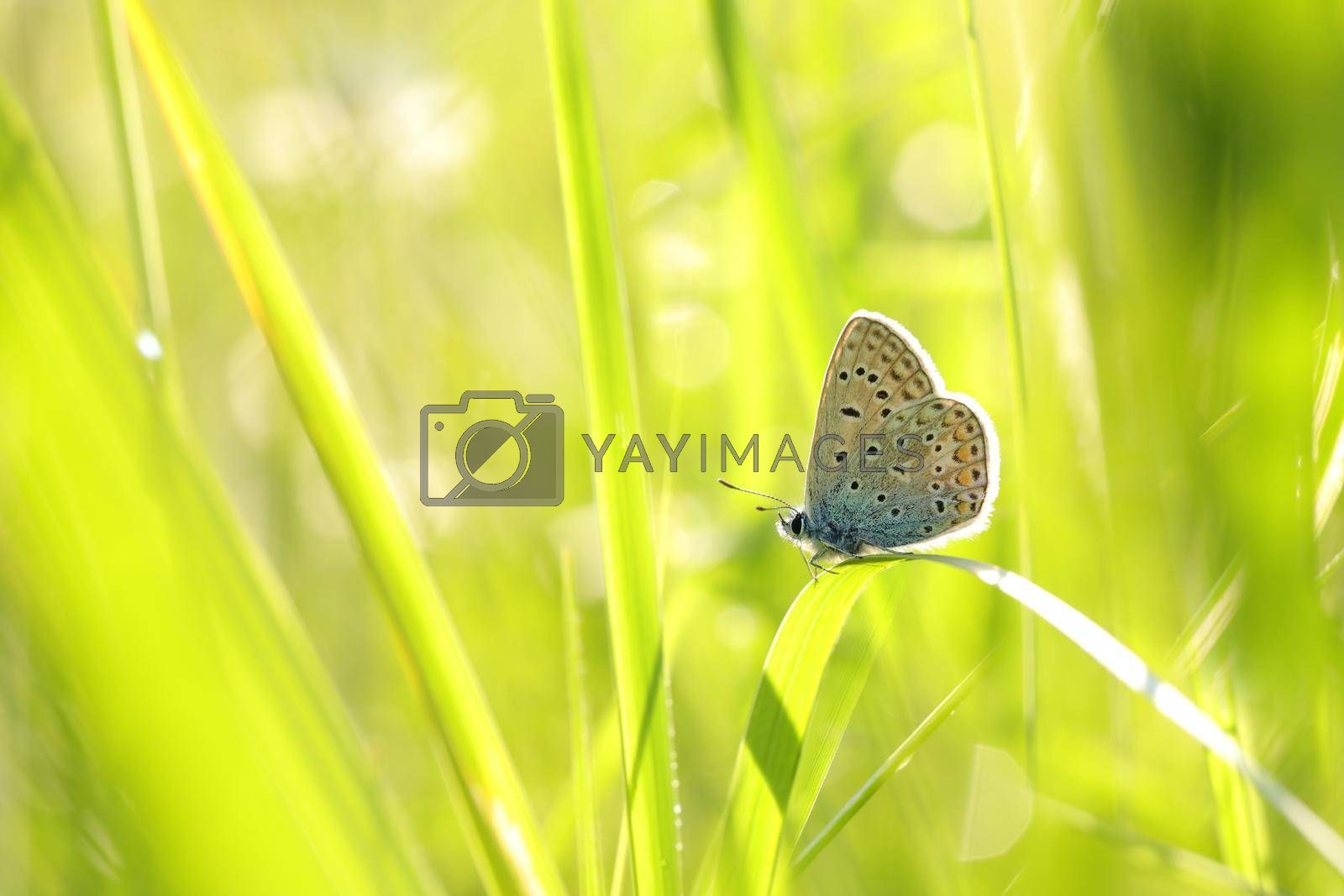 Butterfly (Common blue) on a spring morning.