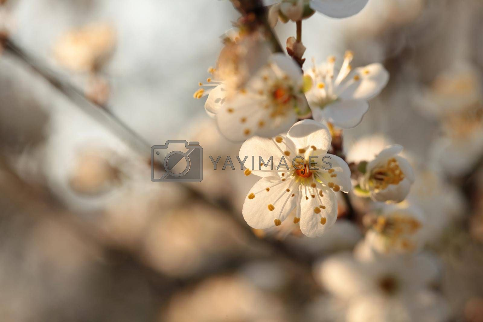Spring flowers blooming on a tree at dawn