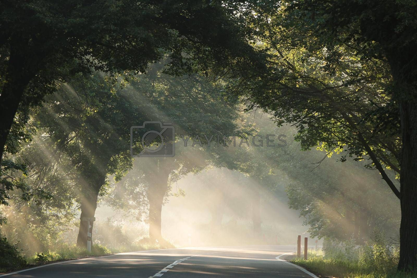 Rays of sun between trees along the road on a foggy morning.