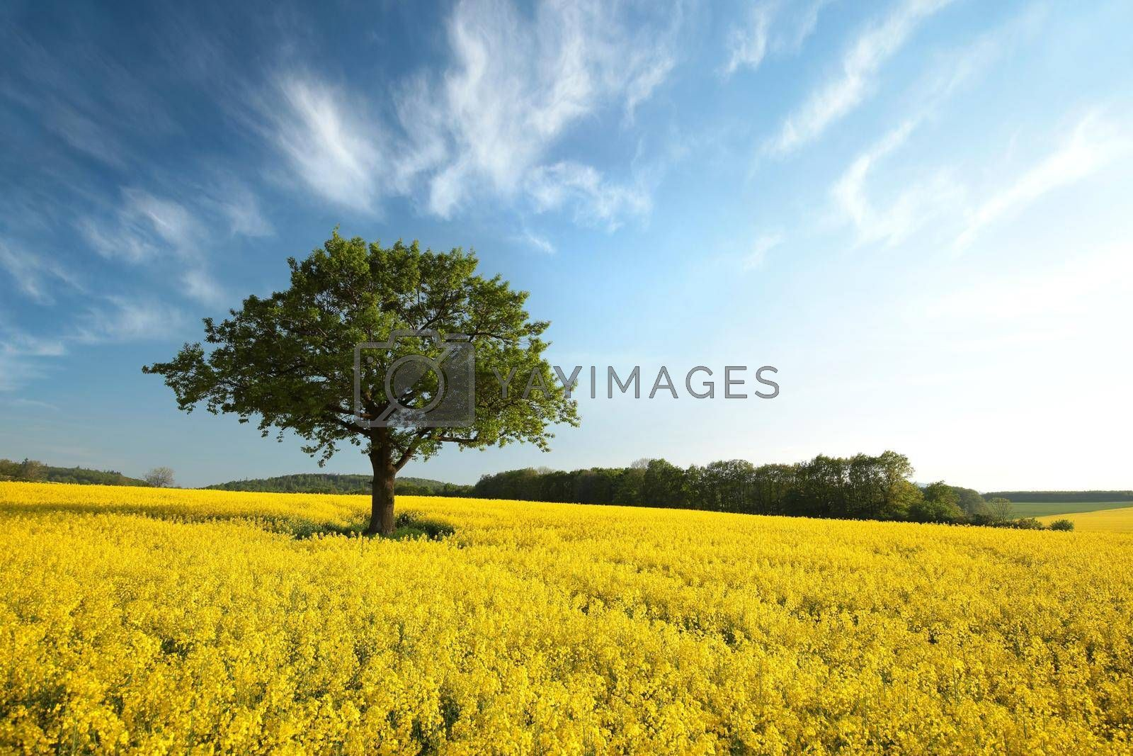 Tree on a blooming rapeseed field.