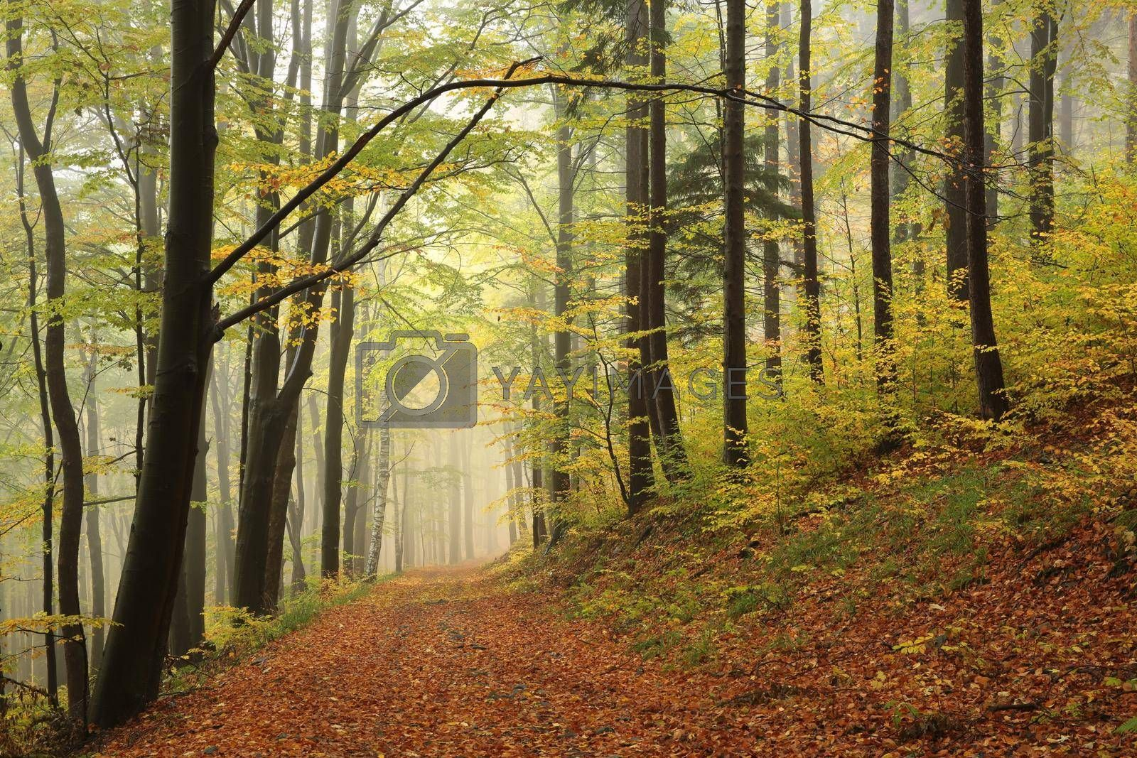 Trail among beech trees in an autumn forest in foggy weather.