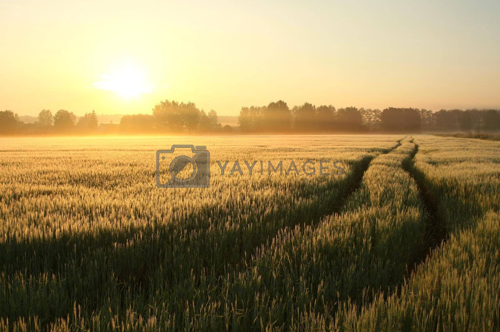 Sunrise over a field of wheat.