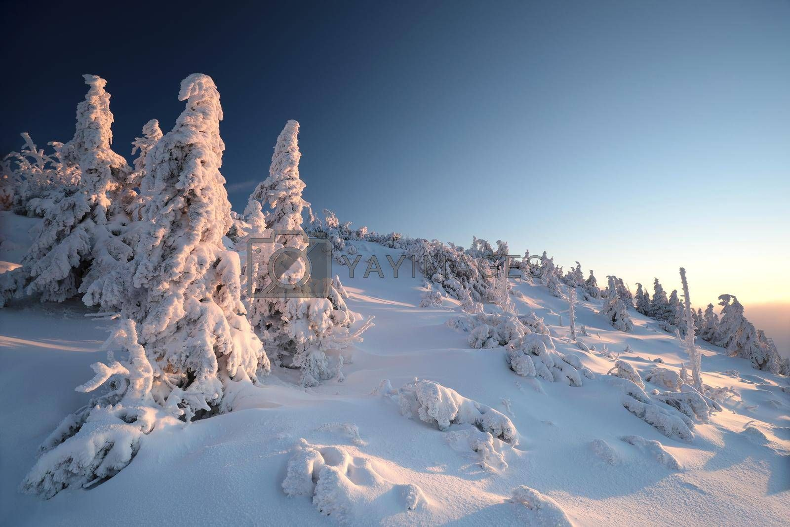 Spruce trees covered with snow on the mountain top against the blue sky at dusk