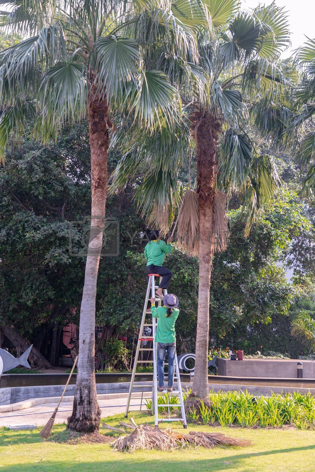 Bangkok, Thailand - Jan 14, 2021 : The gardener climbs Climb the ladder cut the branches at the top. Selective focus.