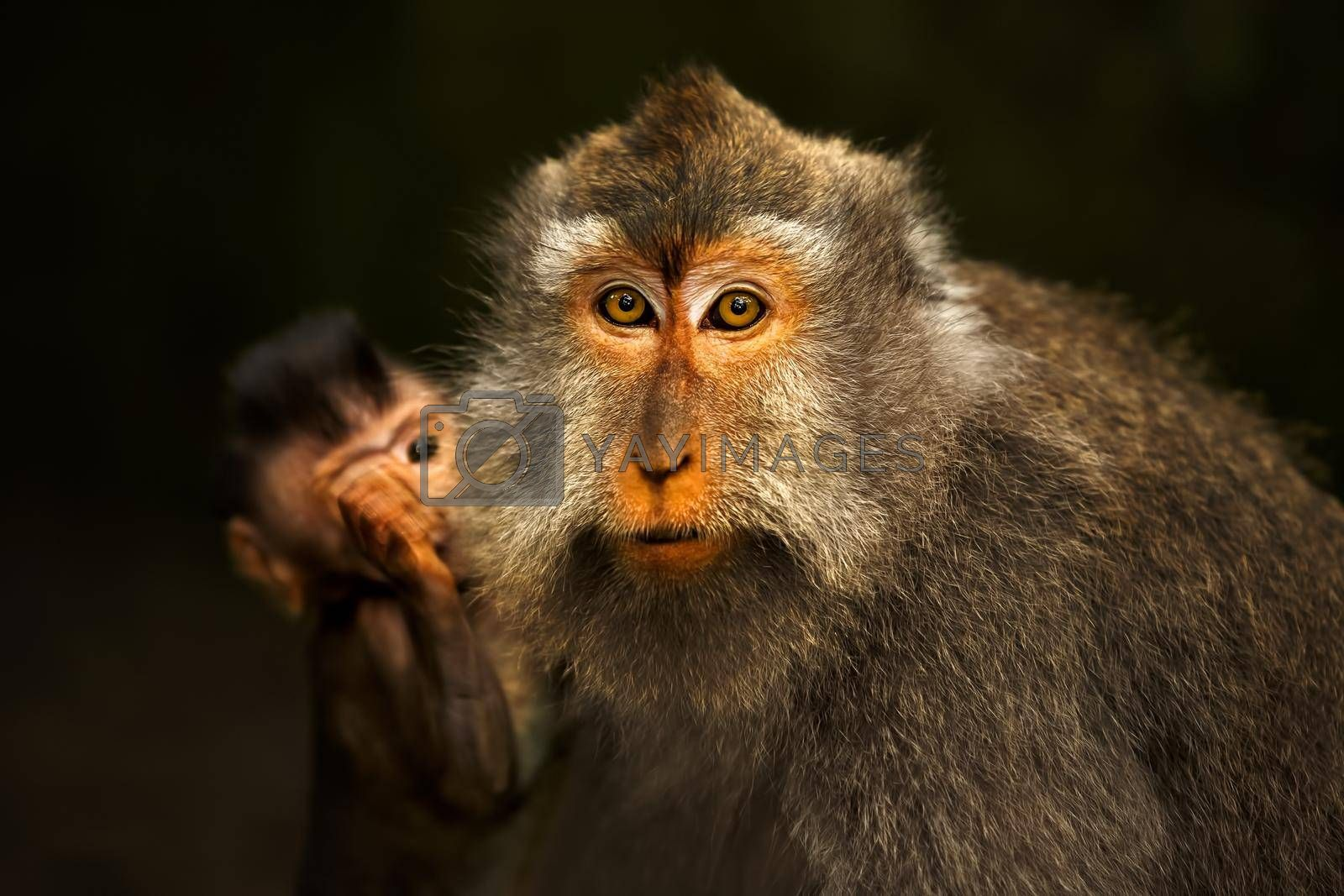 Portrait of a Cute Monkeys. Long-tailed Monkey Mother with Her Cub. Sacred Monkey Forest Sanctuary in Ubud. Bali. Indonesia.