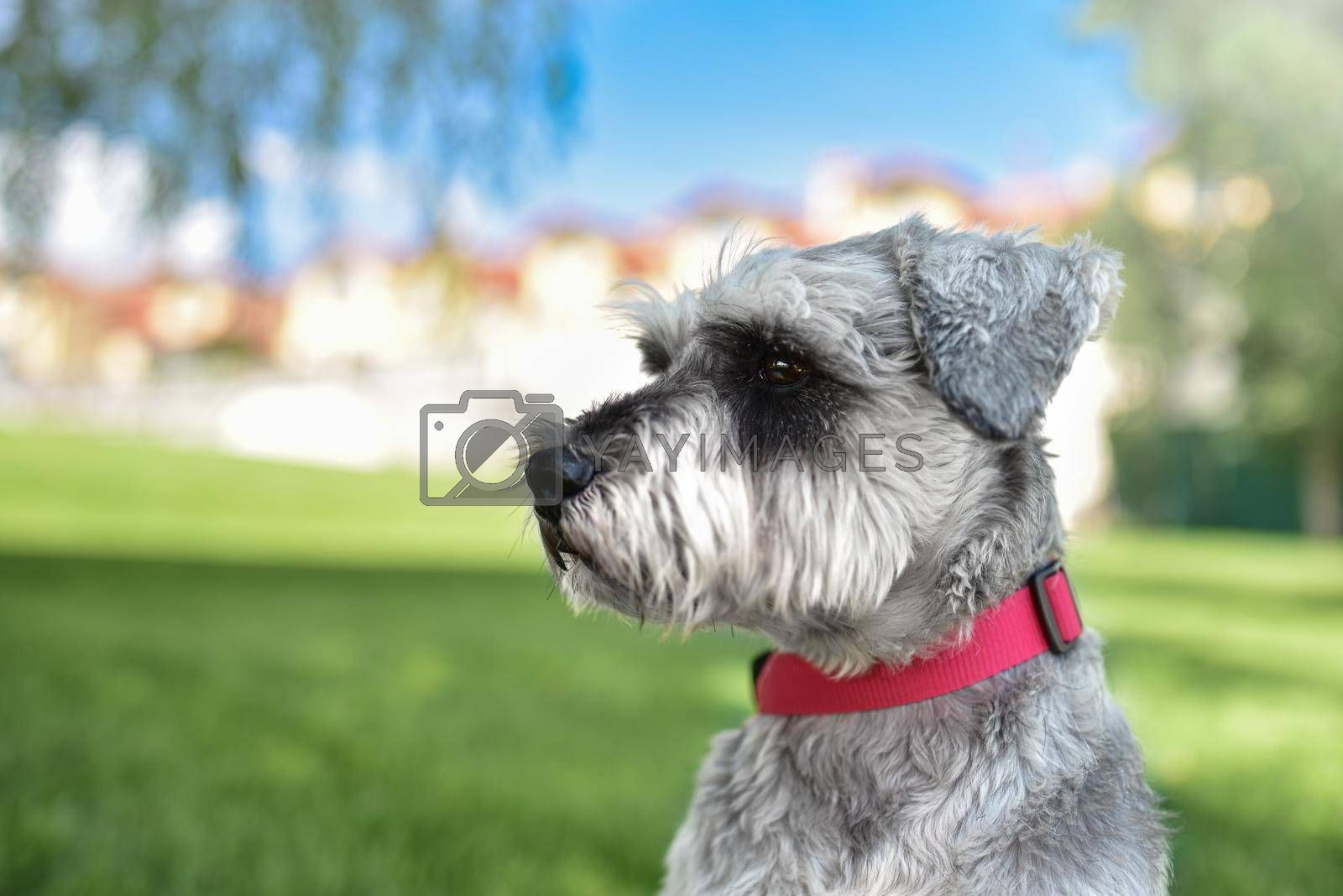 portrait of a beautiful dog schnauzer sitting on the grass and looking into the distance in the park.The concept of love for animals. best friends. by Nickstock