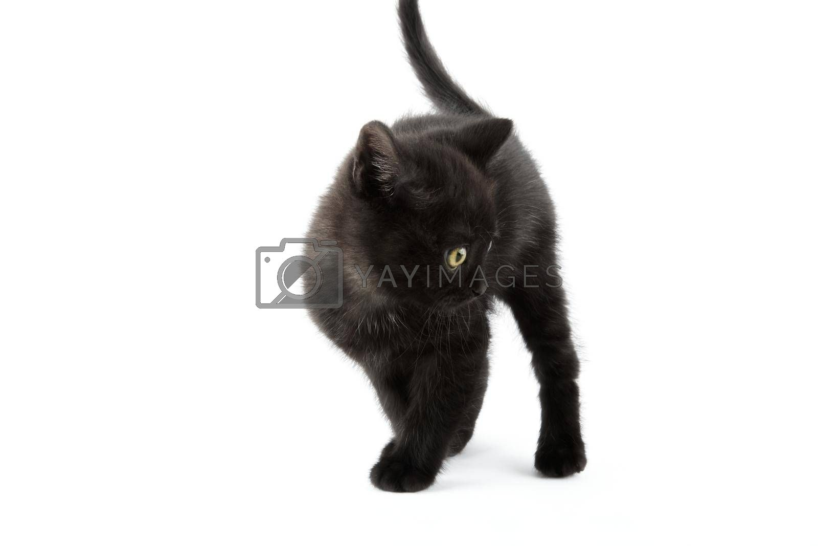 Small black British Shorthair kitten isolated on white background.
