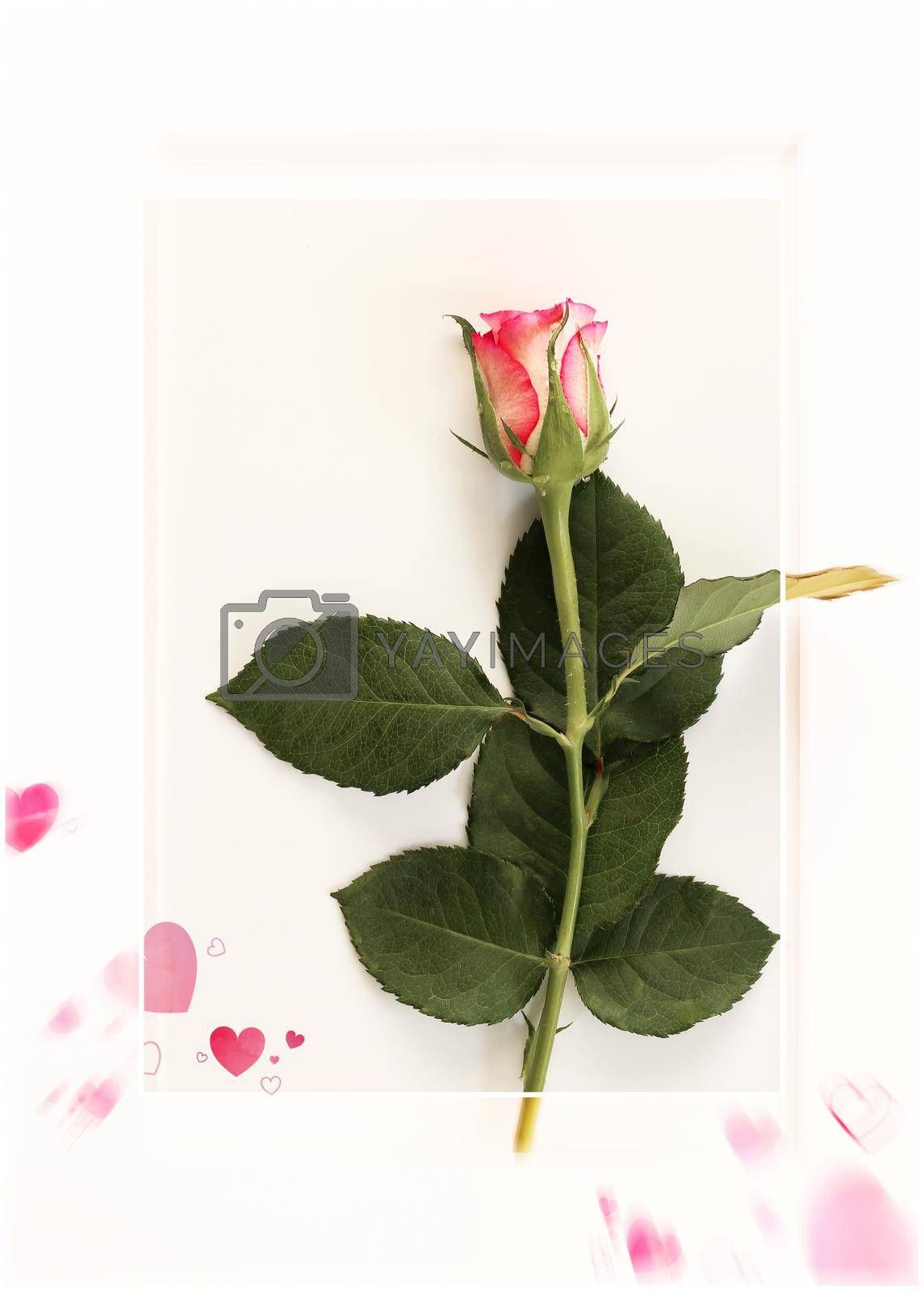 Love card with rose, Valentines day greeting card. Red pink rose flower, pink hearts on white frame. Top view, copy space, place for text. Cards for romantic love greetings
