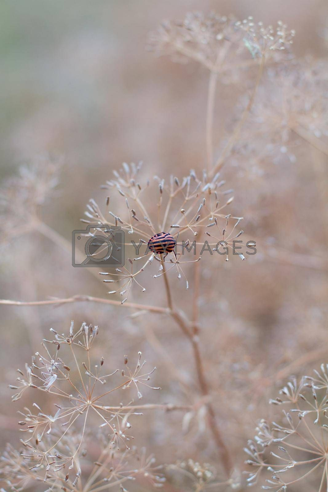 Royalty free image of Closeup of dill umbrellas. Dill growing on the field background. The insect on the dill umbrella. Dry fennel umbrellas with seeds.  Shallow depth of field. by Jannetta