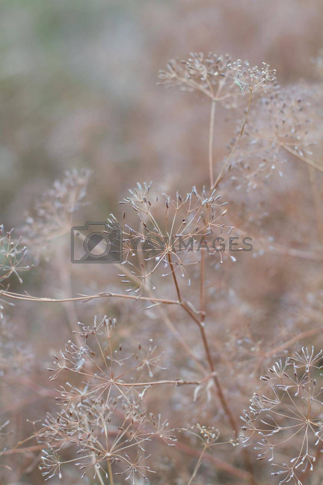 Royalty free image of Closeup of dill umbrellas. Dill growing on the field background. Dry fennel umbrellas with seeds.  Shallow depth of field. by Jannetta