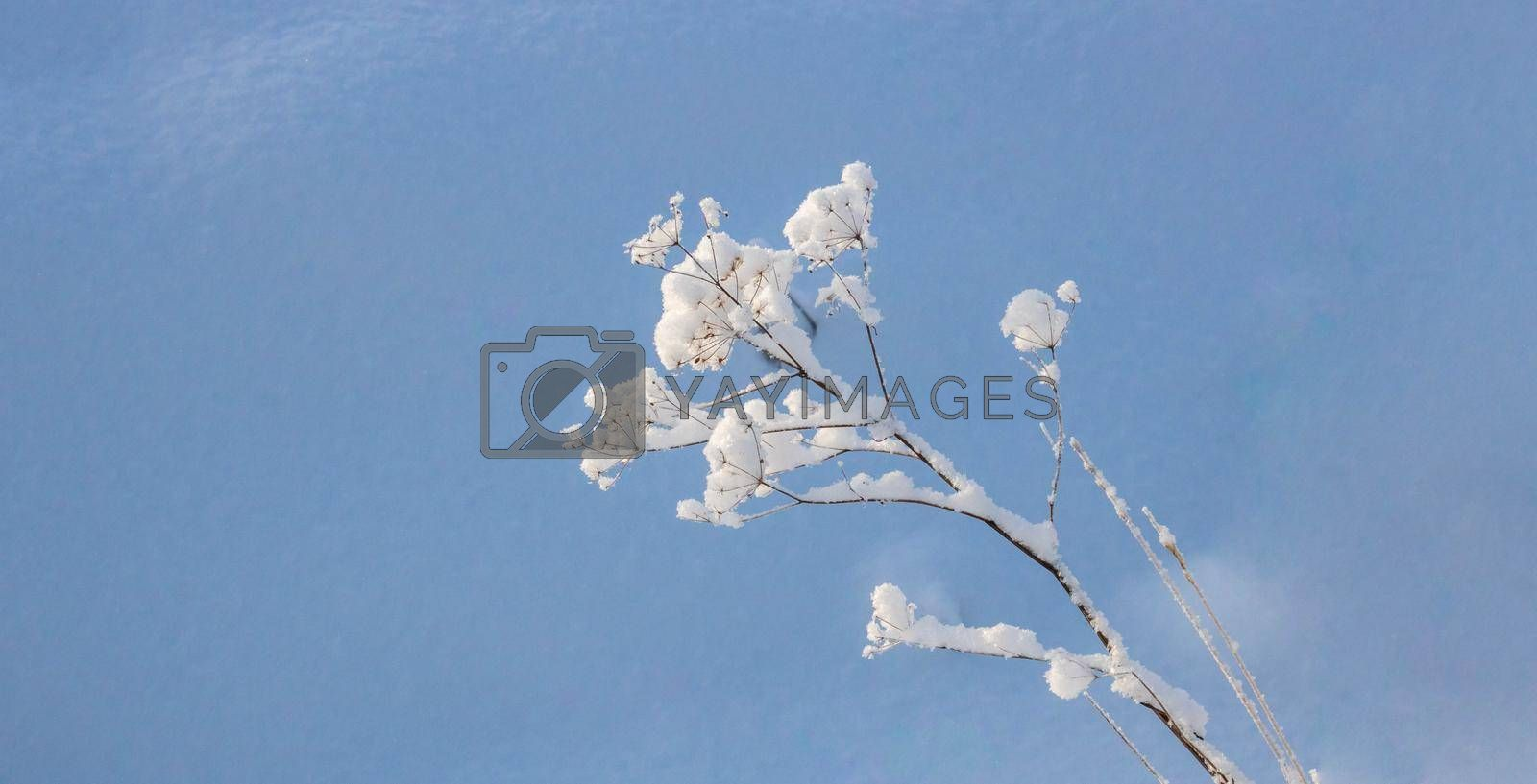 A frozen plant in a field. Inflorescence umbellate in the snow.