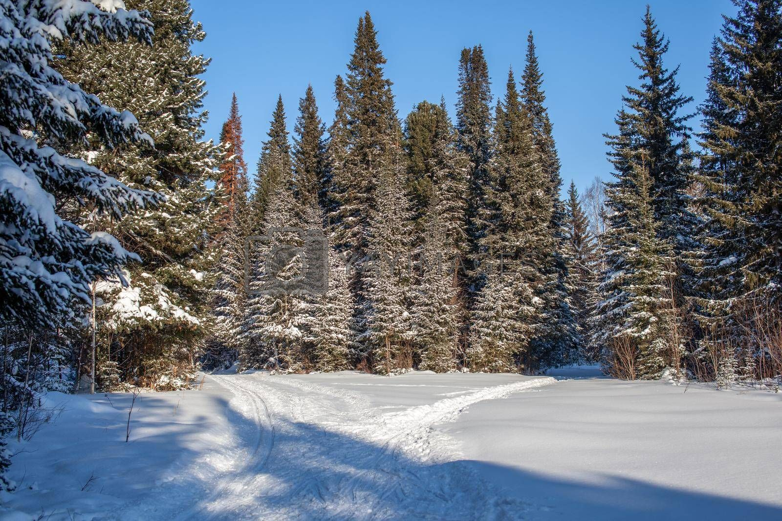 A walk through the winter forest. Snow trees and a cross-country ski trail. Beautiful and unusual roads and forest trails. Beautiful winter landscape.