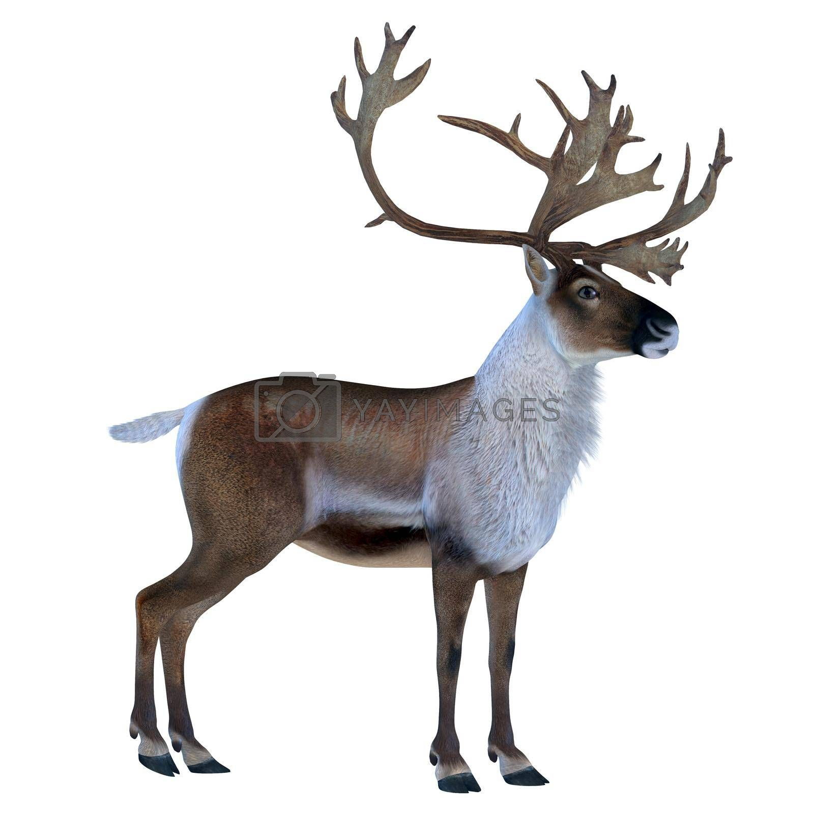 The Caribou deer also called a reindeer lives in the northern regions of Europe, Siberia and North America.