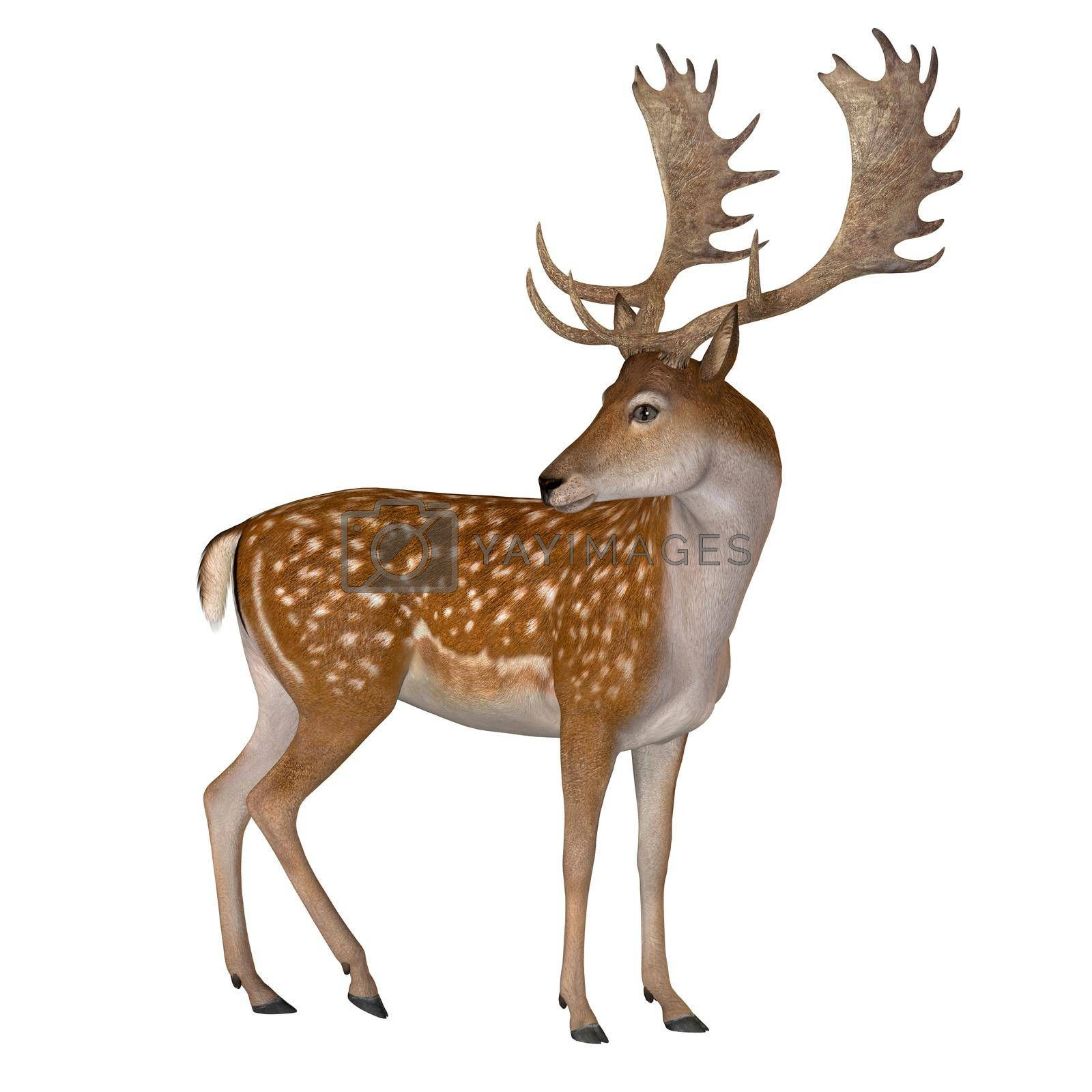 The Fallow deer can be traced back to Pleistocene Period and the species now lives in Europe.