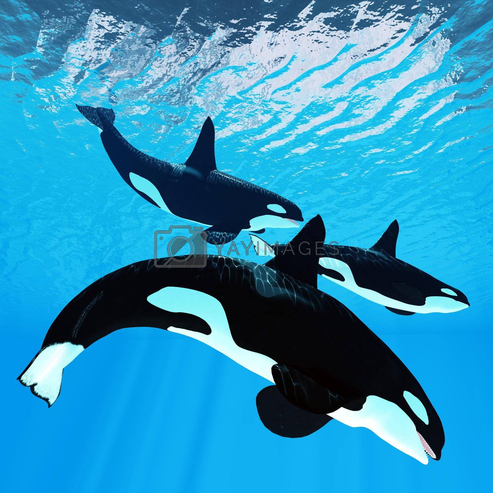 Three male bull Orca whales swim together near the surface of the ocean waves.