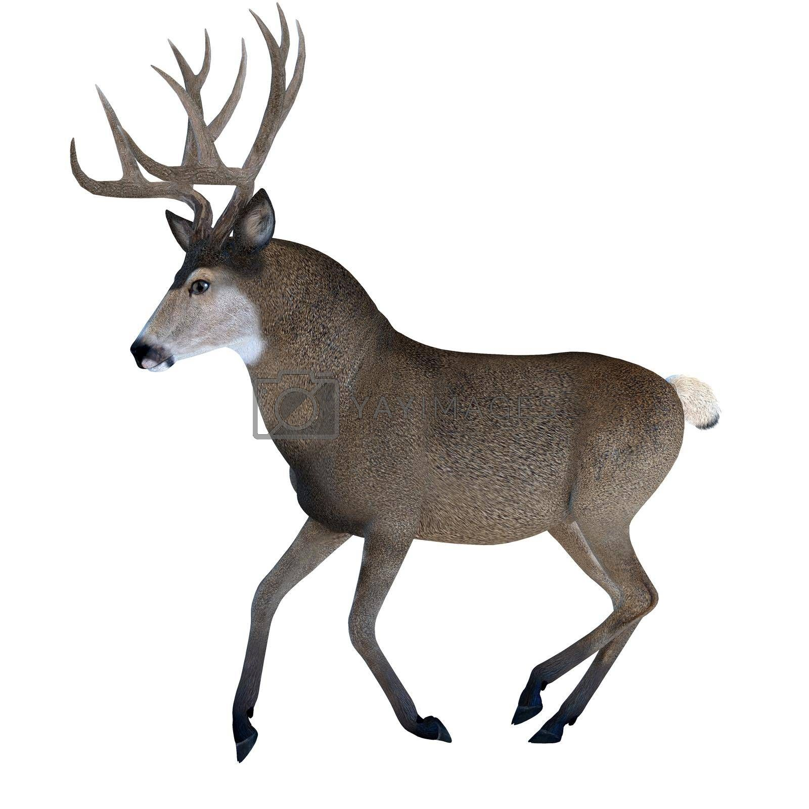 Large ears and spiked antlers are a feature of the Mule deer which lives in the Western North America.