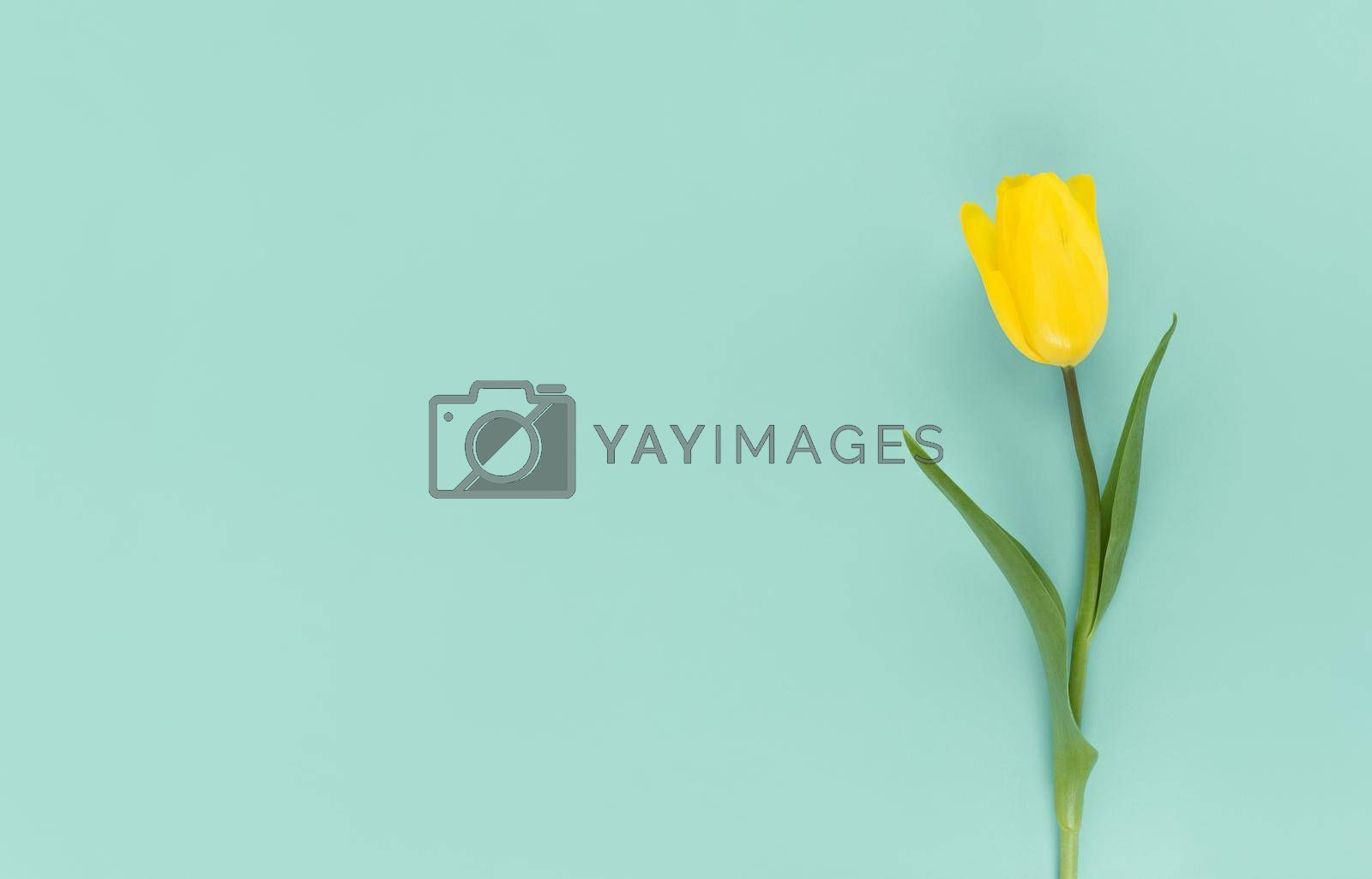 Yellow tulip on a green background. Mimimalistic flat lay with copy space.