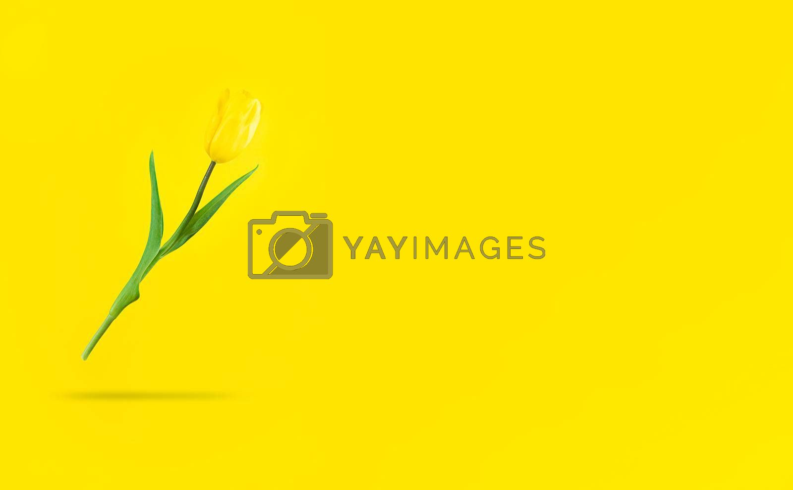 Levitating yellow tulip with shadow under it and copyspace.