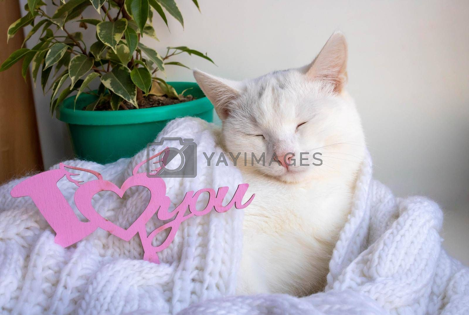 A white cat sleeps on the windowsill wrapped in a white knitted scarf with the sign I love you.Spring and Valentine's Day Concept.