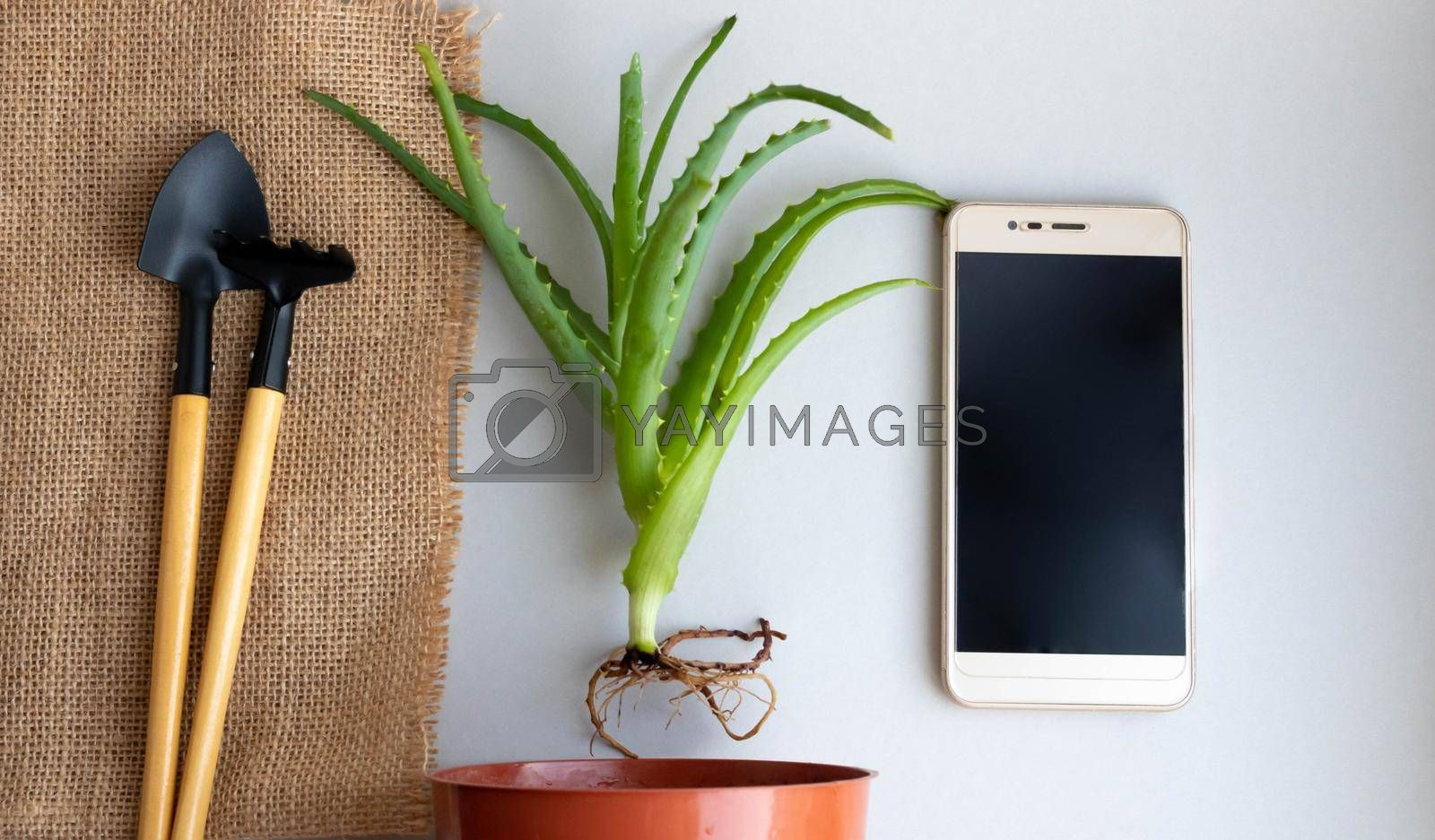 Transplanting indoor aloe flower, flat design with top view. A flower pot, a plant sprout, a rake and a shovel on a background of burlap, a phone. Care for indoor plants.Work at Home Online.