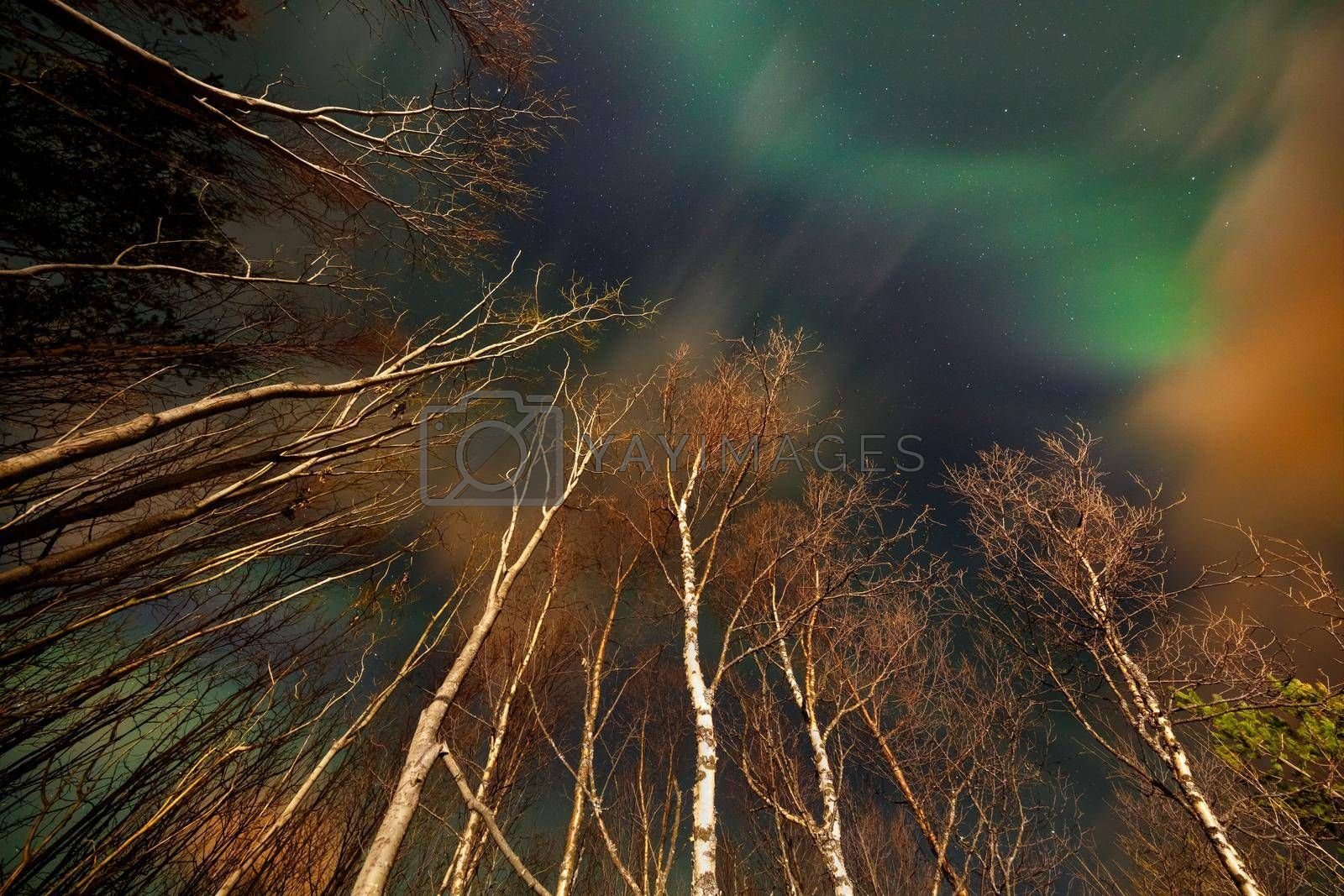 Beautiful Skyscape of a Northern Lights over High Trees. Magical Green Aurora Lights in the Night Sky. Amazing Natural Phenomena. Norway.