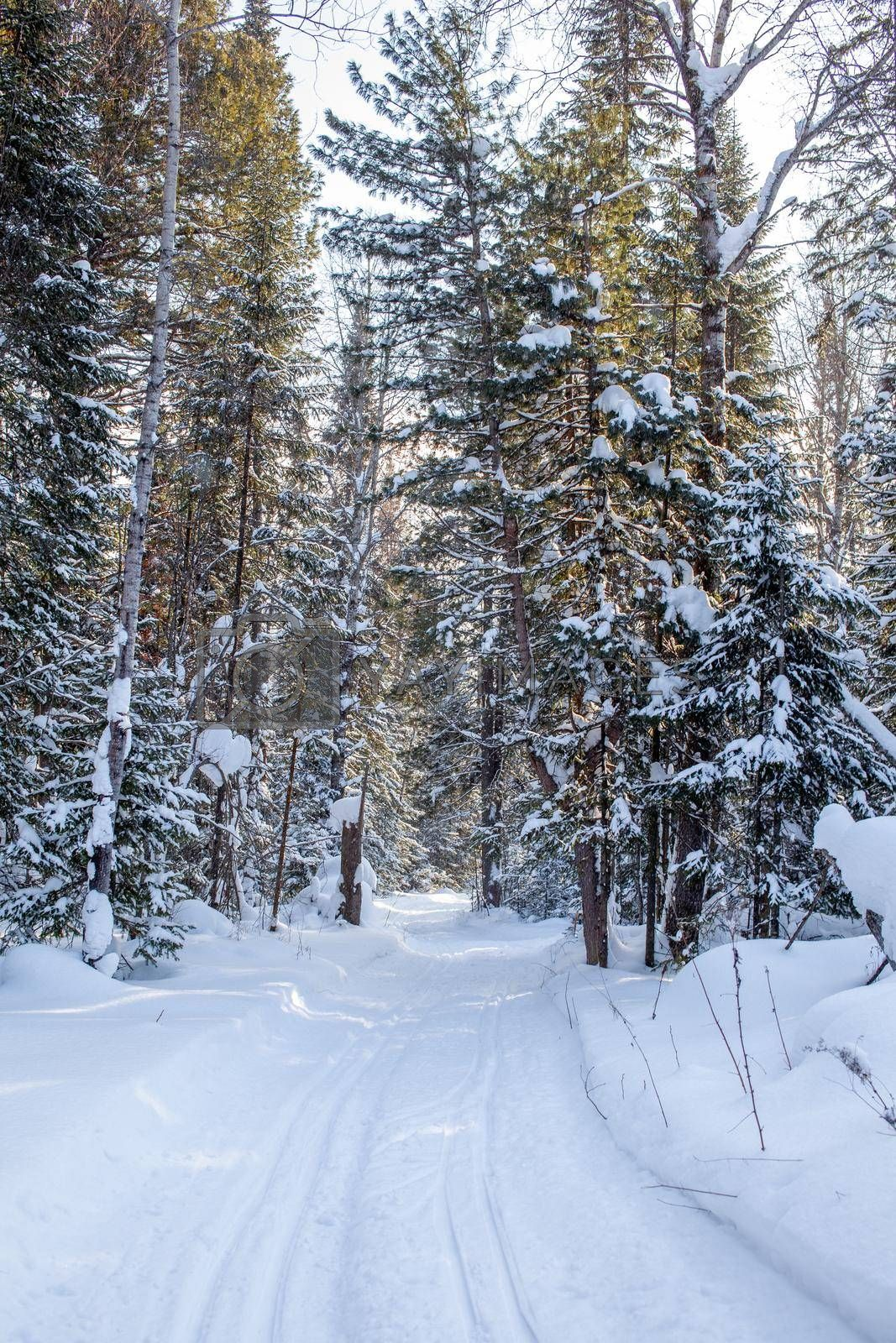 Royalty free image of A walk through the winter forest. Beautiful winter landscape. by AnatoliiFoto
