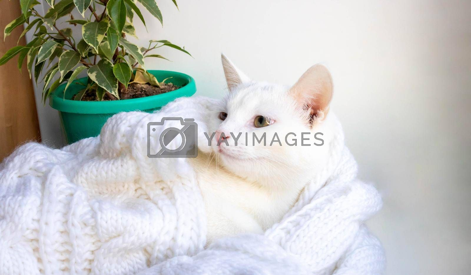 A young white cat lies on the windowsill near a ficus tree wrapped in a white knitted scarf.