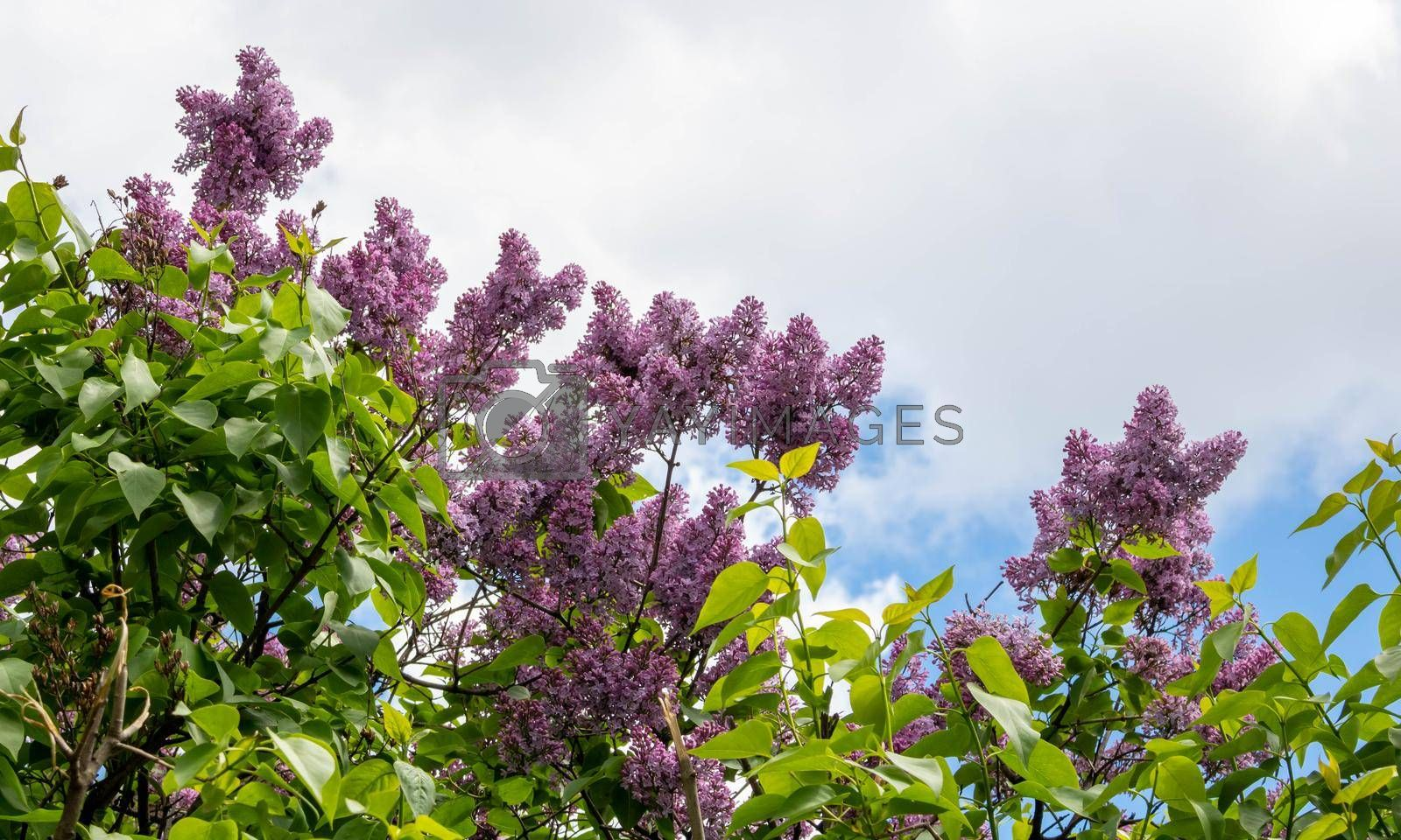 Blooming lilac against the sky. Beautiful purple lilac flowers outdoors. Lilac flowers on the branches.