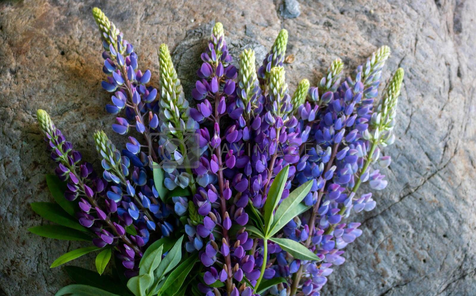 A bouquet of lupines isolated against a gray stone background.