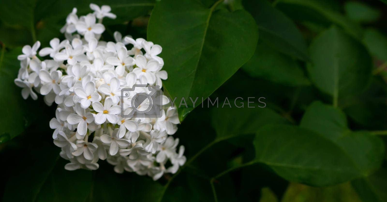 Brush of white blooming lilac on the background of leaves.