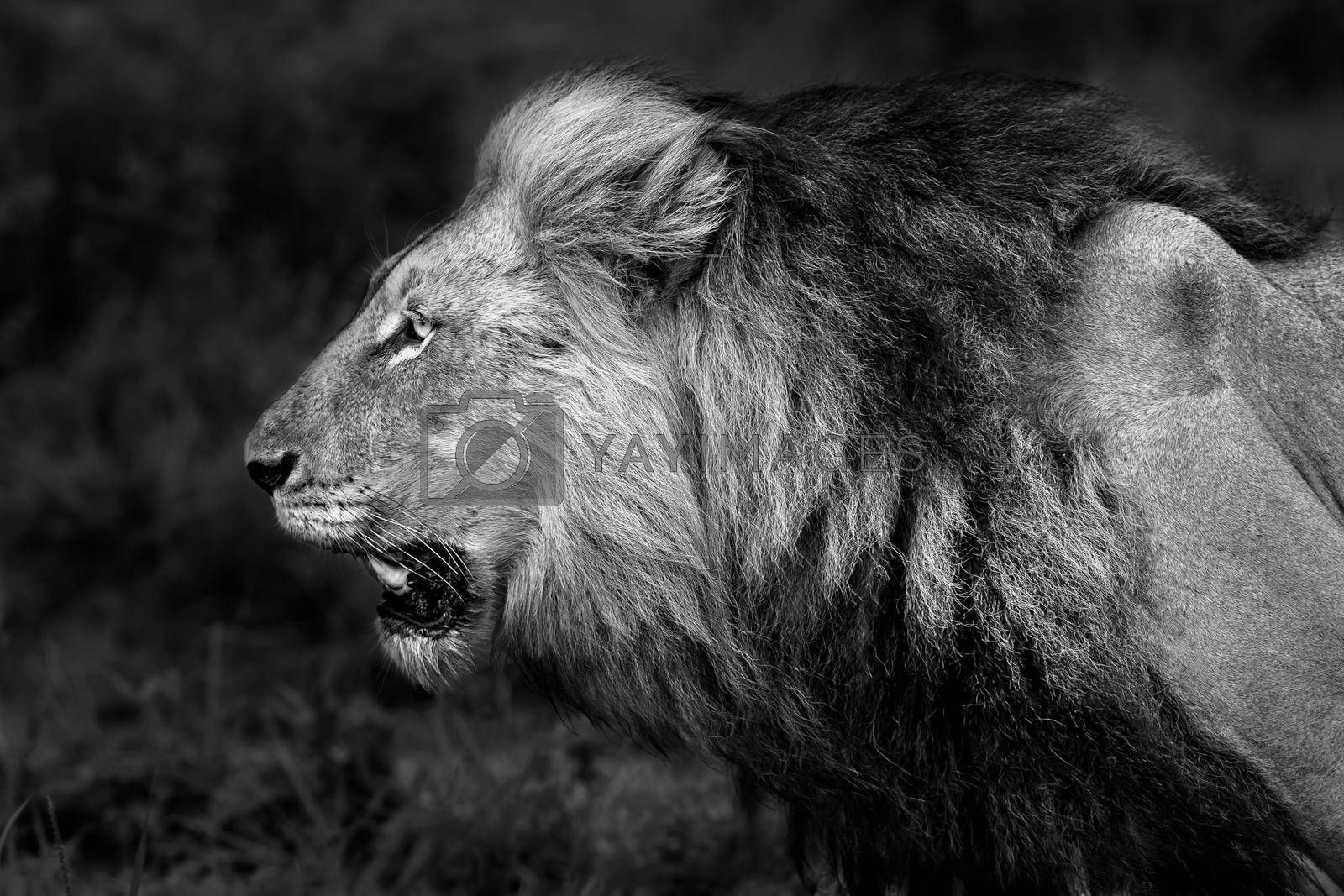 Black and White Photo of a Big Angry Roaring Lion. Profile Portrait of the King of the Jungle. Big Five. Safari Game Drive. Wild Animals of South Africa.