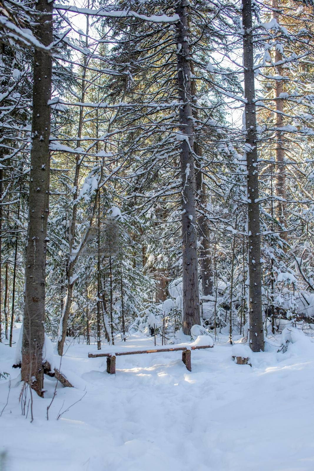 Winter road in a snowy forest, tall trees along the road.  by AnatoliiFoto