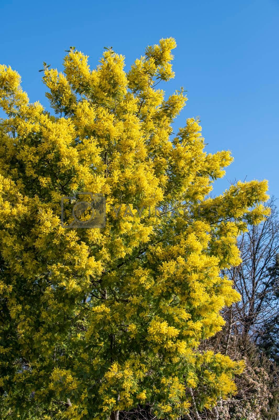 mimosa plant with an intense yellow color, symbol of women's day 8 March