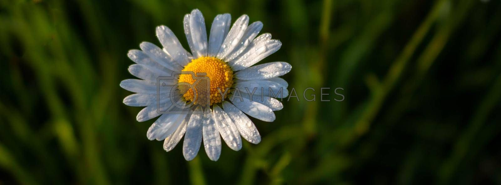 One white chamomile flower isolated on a green grass background. Top view. Space for text.