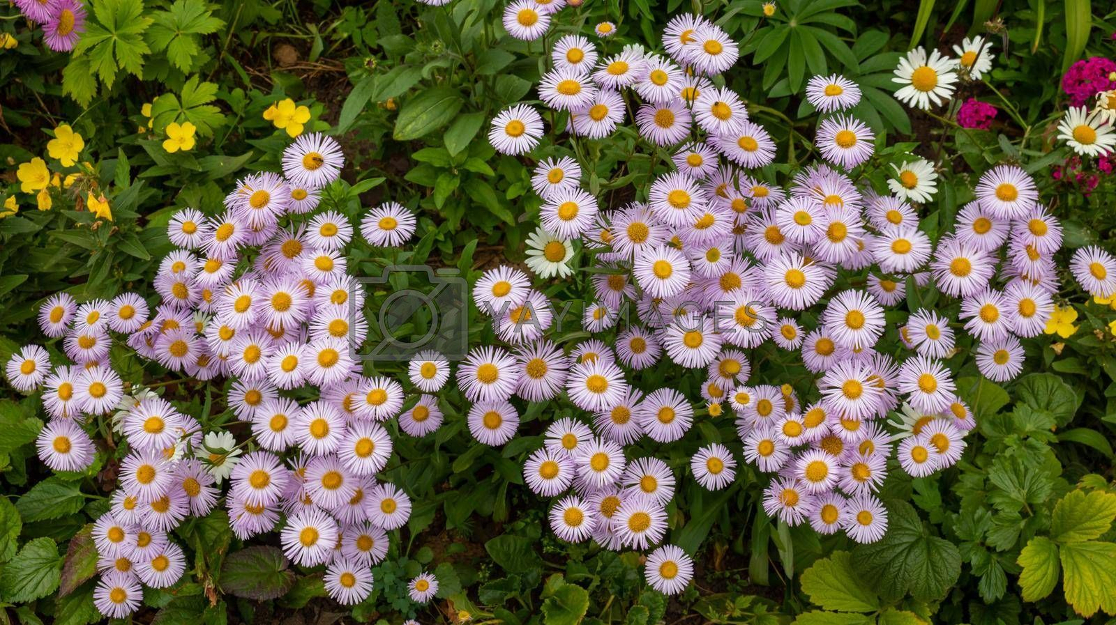 Pink wild daisies, background of spring flowers.