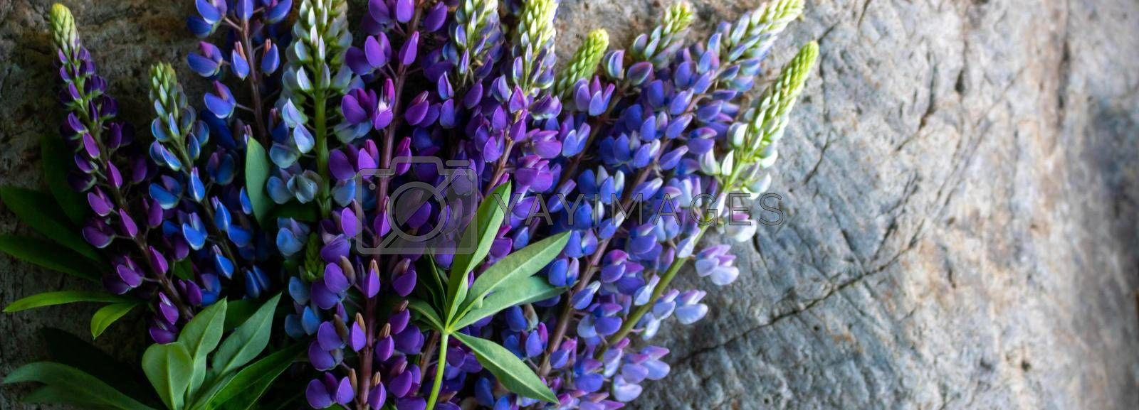Panorama of a bouquet of lupines isolated against a background of gray stone.