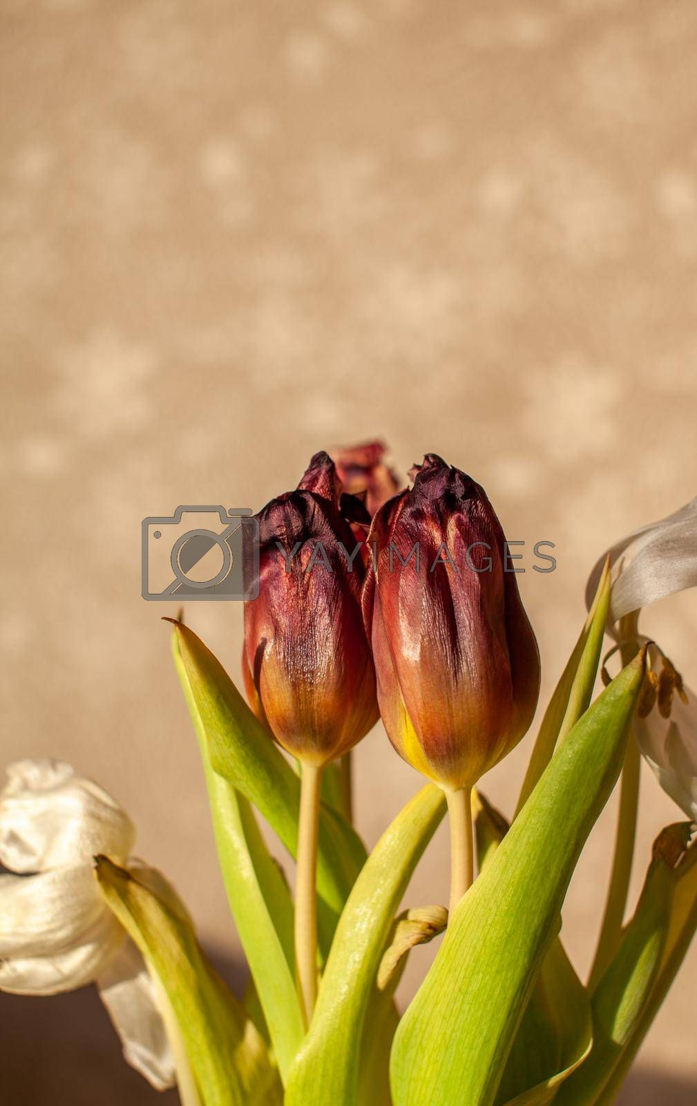Flowers tulips at home in the warm rays of the winter sun. Beautiful decor and greeting card.
