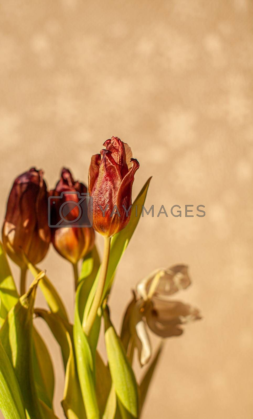 Flowers tulips at home in the warm rays of the winter sun. by AnatoliiFoto